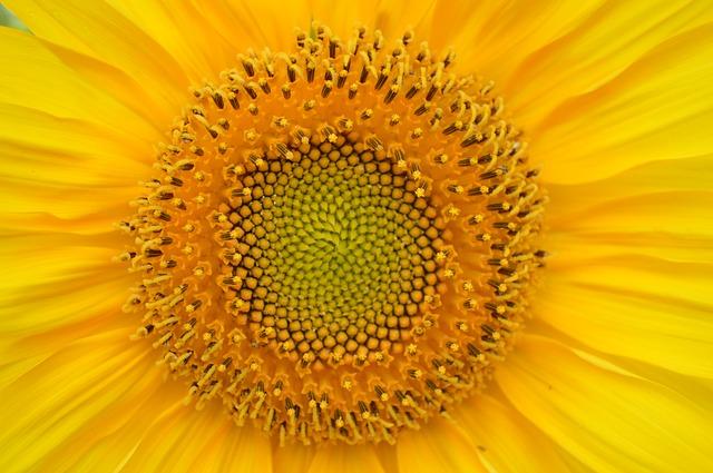 Verdiepingsaanbod zonnebloemen
