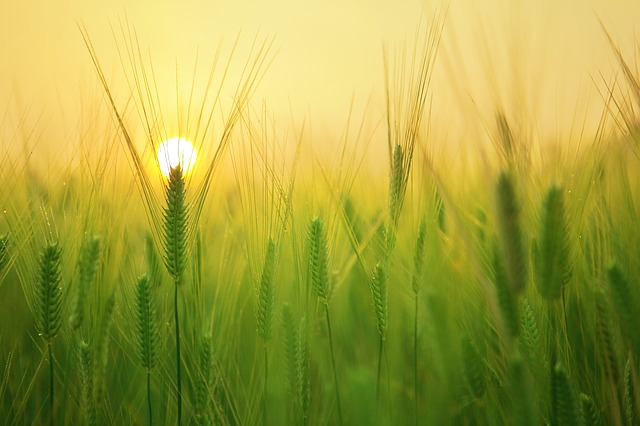 barley field 1684052 640
