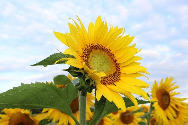 vervolgaanbod zonnebloemen
